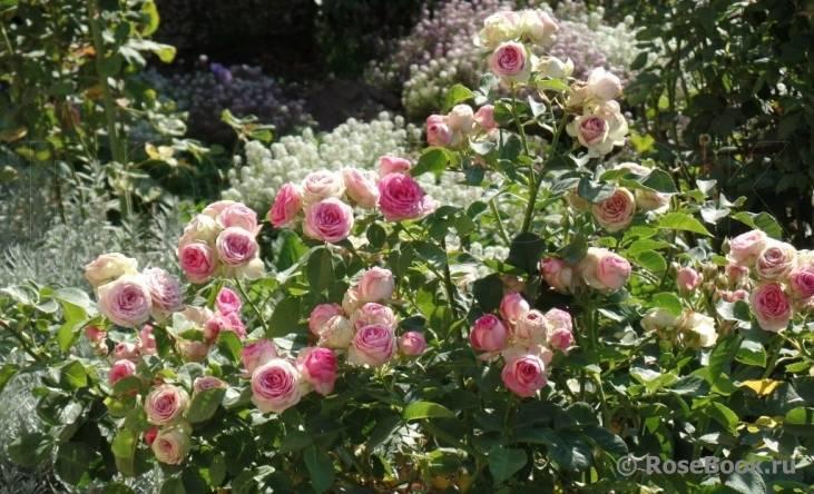 Роза спрей мими эден фото и описание