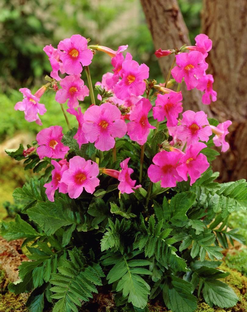 Посадка и уход в открытом грунте за цветком розовой китайской инкарвиллеи делавеи