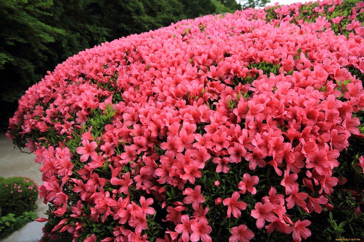 цветущие кустарники для дачи в подмосковье фото эти