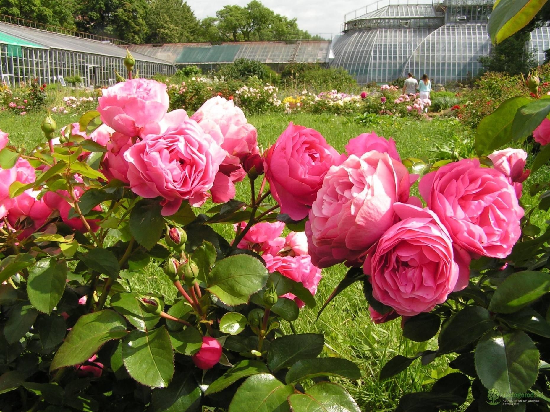 Роза флорибунда – описание, посадка и уход