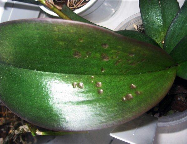 Причины появления белых, черных, коричневых пятен на листках орхидей: как вылечить