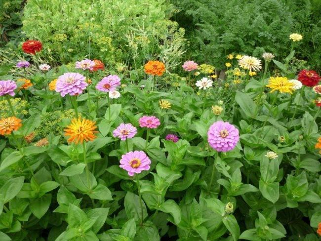 Выращивание цинии в открытом грунте и уход за растением