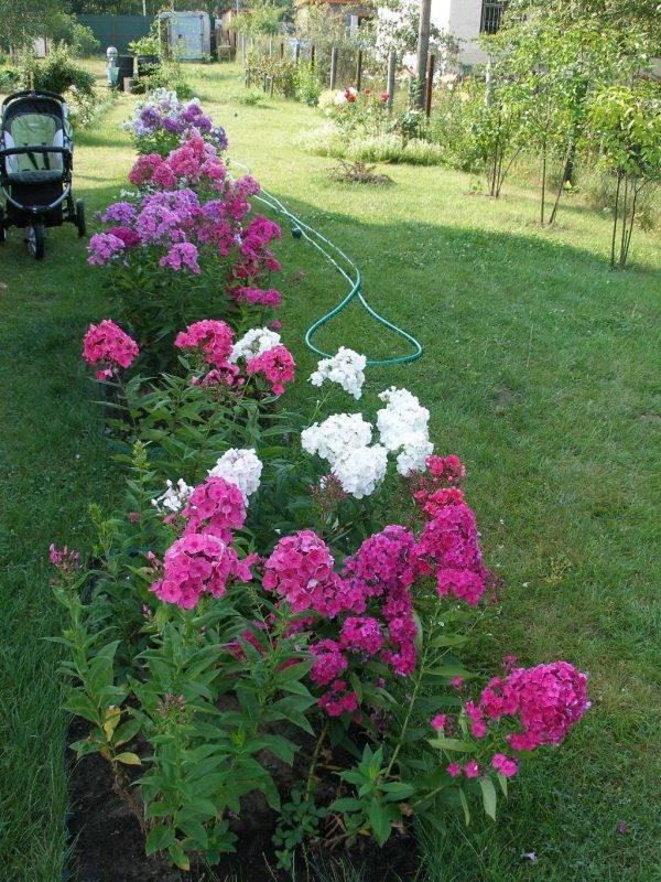 Выращивание однолетних флоксов из семян: правила посадки и ухода за ними