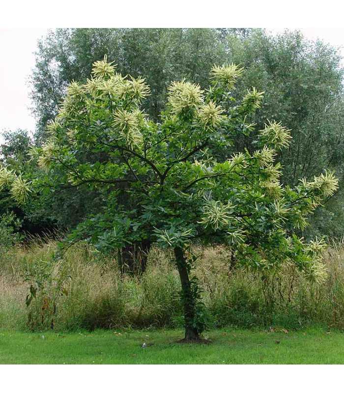 Дерево каштан — виды, описание, посадка, уход, выращивание в саду и особенности размножения каштанов своими руками (115 фото)