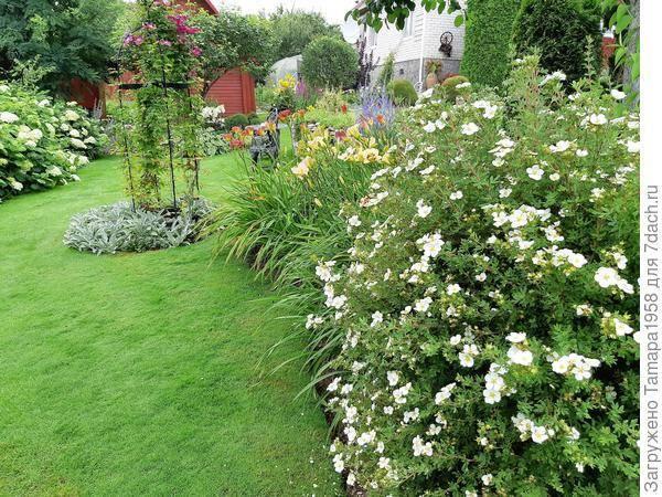 Лапчатка – целебная трава с нежными цветами