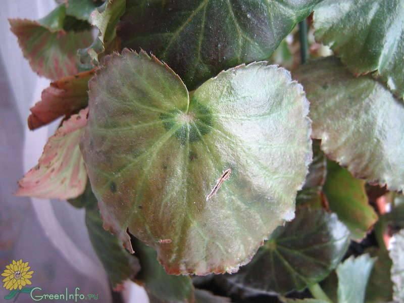 Болезни бегонии: как спасти растение? что делать, если комнатная бегония засохла и не цветет? как оживить домашнее растение если замерзло?