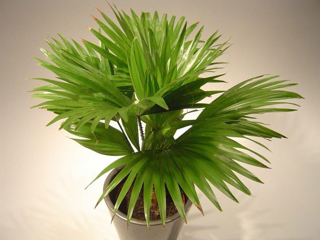 Пальма ливистона — уход в домашних условиях
