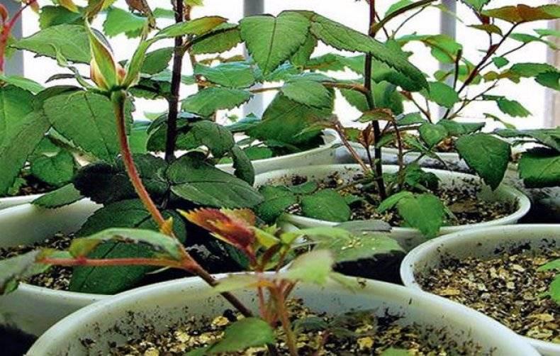 Роза в вашем саду: как сажать и ухаживать, выбор саженцев