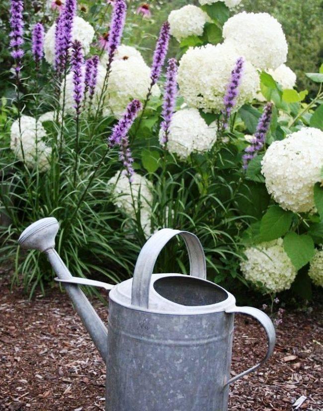 Бузульник — элегантная лигулярия: выращивание, посадка, уход и размножение