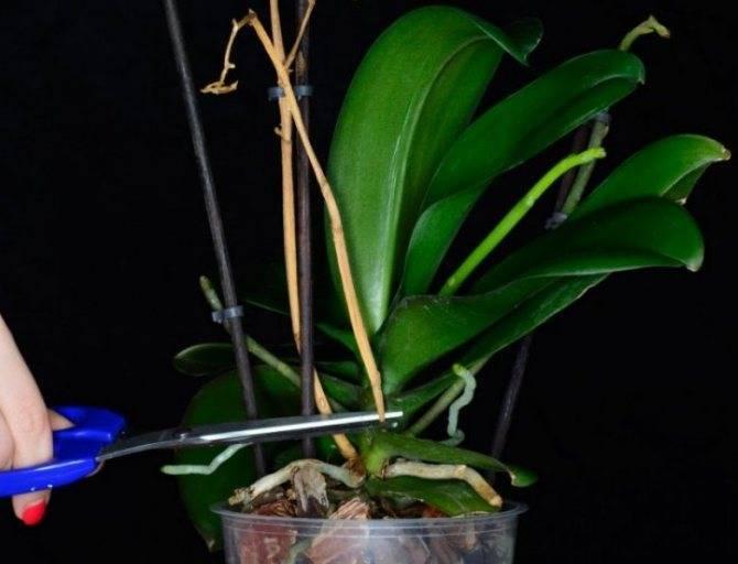 Орхидея отцвела, что делать со стрелкой? 19 фото как обрезать орхидею после того, как оно отцветает? уход за орхидеей в период покоя в домашних условиях