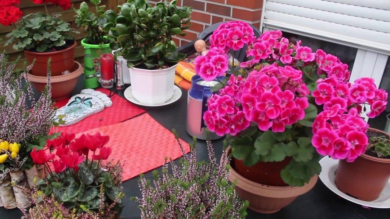Почему не цветет герань и что делать?