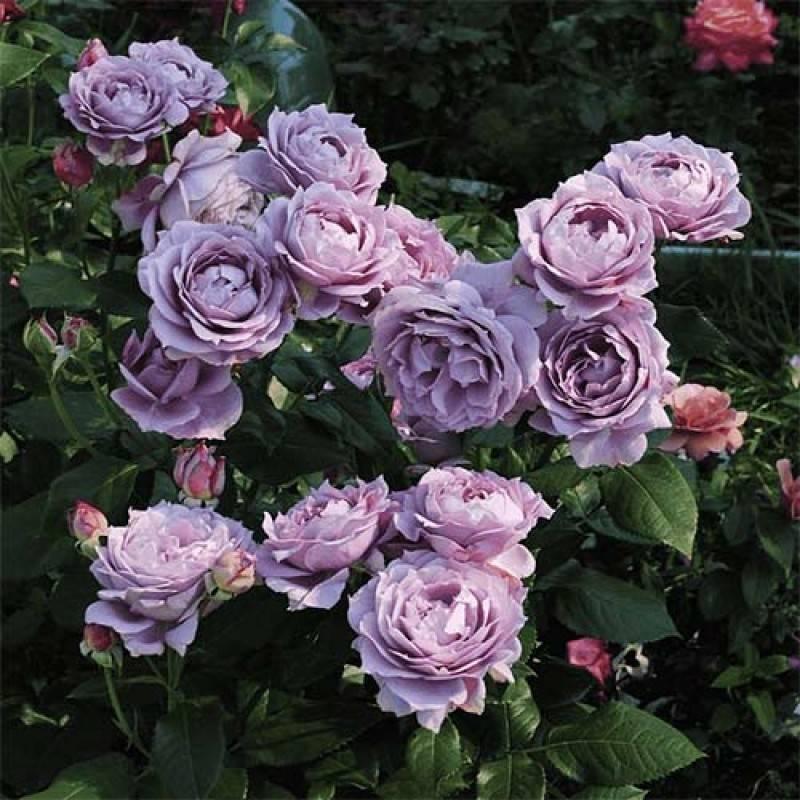 Роза чайно-гибридная абракадабра - описание, фото, уход | о розе