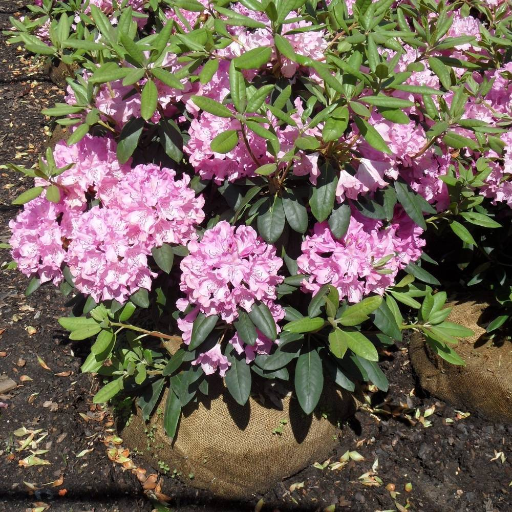 Все про рододендрон садовый: посадка, уход, применение в дизайне сада