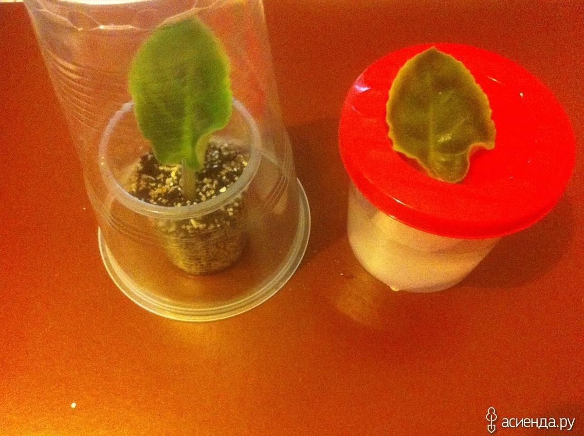 Как вырастить фиалку из листочка в домашних условиях