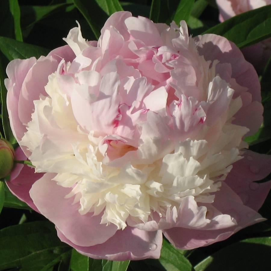 Описание травянистого пиона офишиналис (officinalis) розеа плена в домашних условиях