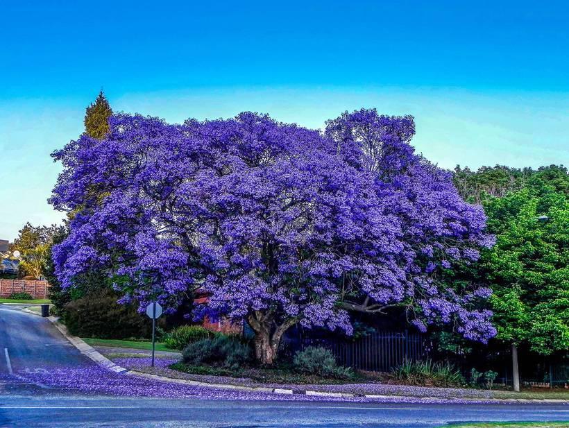 Жакаранда фиалковое дерево —характеристики растения