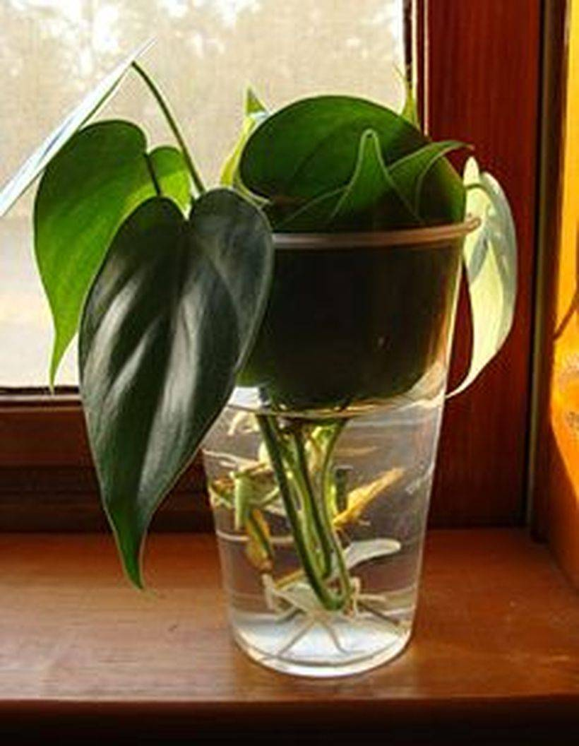 Филодендрон селло (15 фото): особенности размножения «мексиканского змея» с помощью семян в домашних условиях. уход за цветком