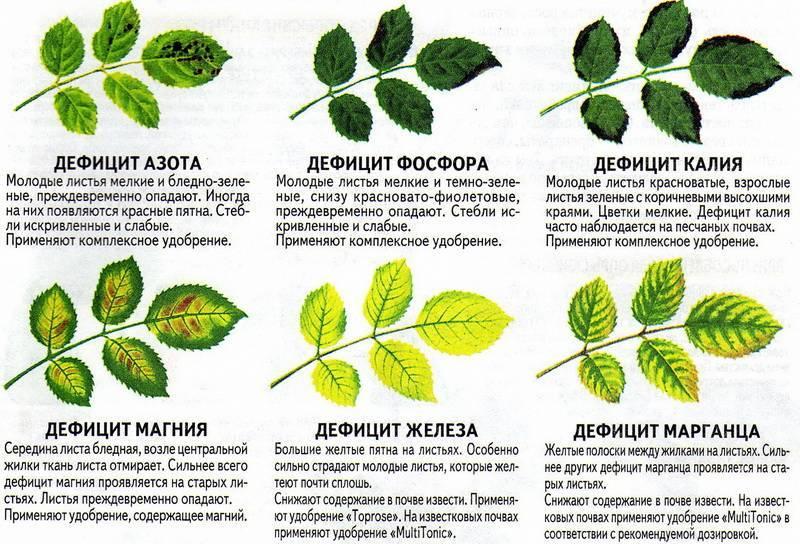 Как вырастить на участке многолетнюю травянистую лапчатку: особенности посадки и ухода
