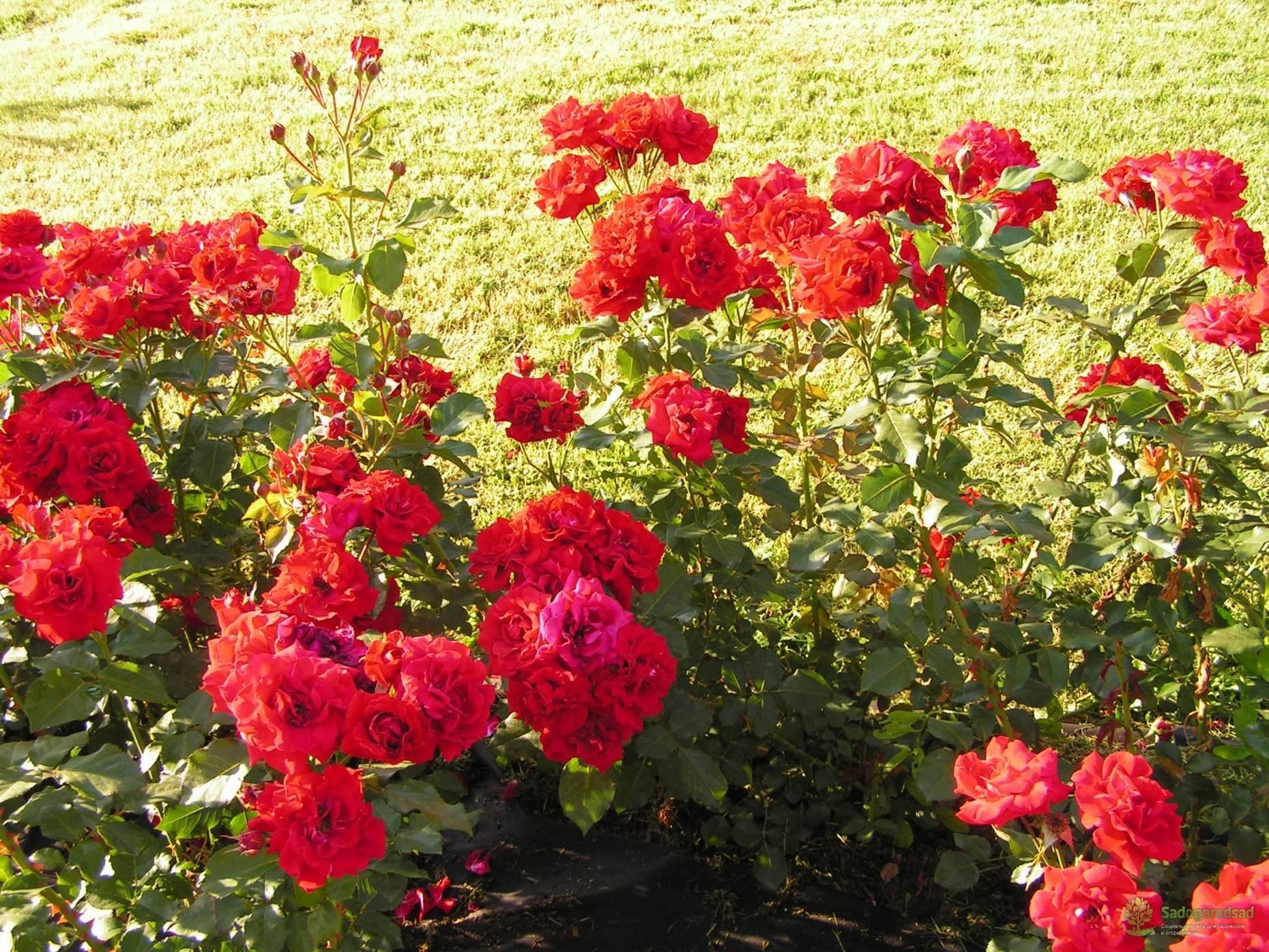 Роза «нина вейбул» (27 фото): описание и размножение сорта «нина вейбул», отзывы