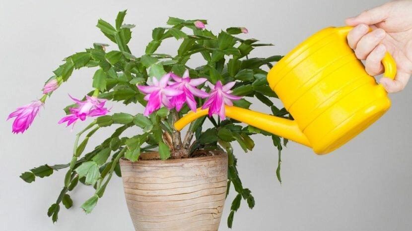 Цветок бромелия: уход в домашних условиях