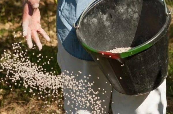Арабис многолетний выращивание из семян