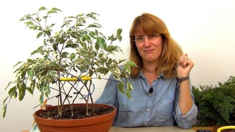 Выращиваем фикус бенджамина. формирование кроны в домашних условиях в виде шара. обрезка. фото