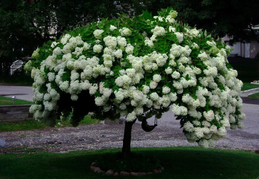 Гортензия на штамбе как вырастить. подготовка к цветению. посадка гортензии в открытый грунт: место, почва, расстояние и глубина