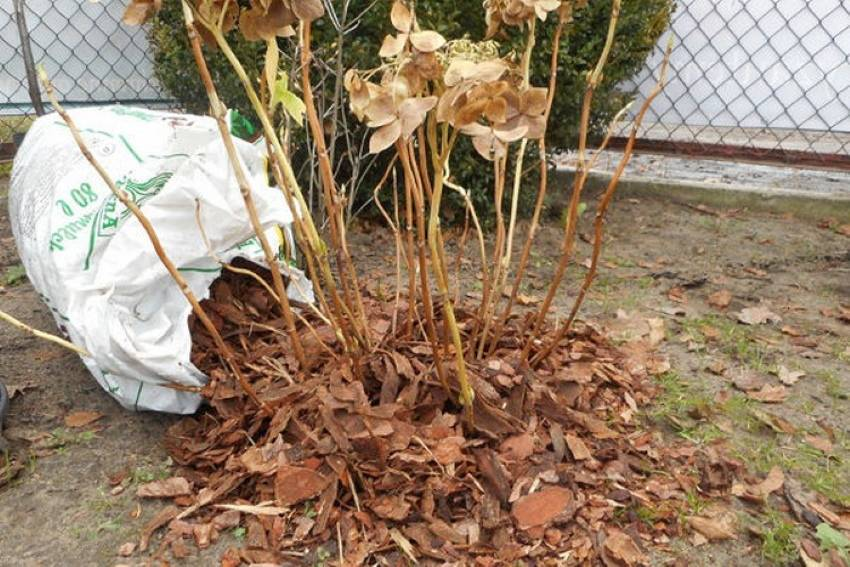 Как укрыть гортензию на зиму? 20 фото варианты укрытия. какие гортензии не нужно укрывать? при какой температуре их закрывать?