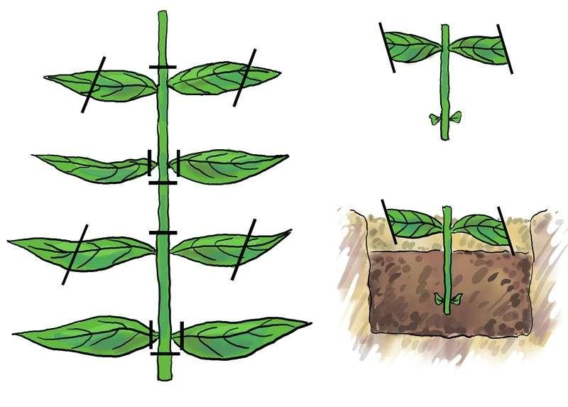 Размножение петунии черенками осенью: пошаговая инструкция
