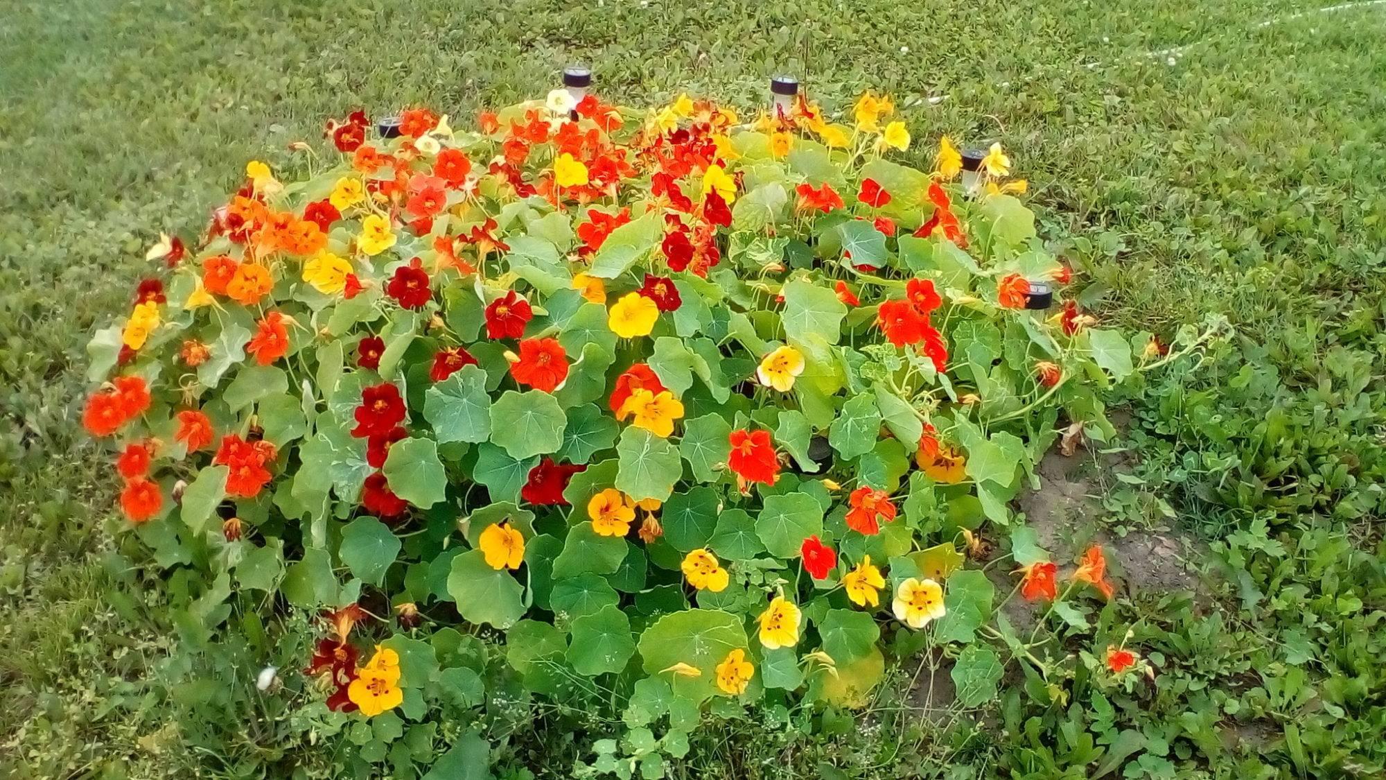 Выращивание настурции из семян, посадка и уход в открытом грунте