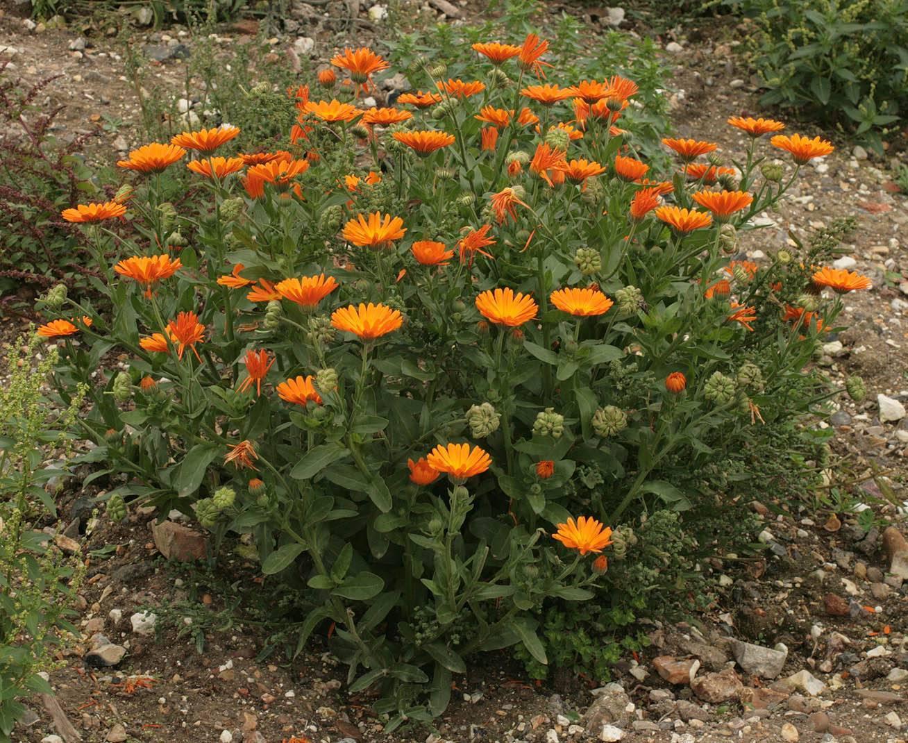 Можно ли сеять календулу в июне. календула посадка и уход в открытом грунте размножение семенами