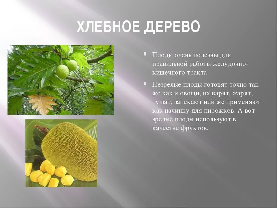 Плоды хлебного дерева: описание, состав и польза