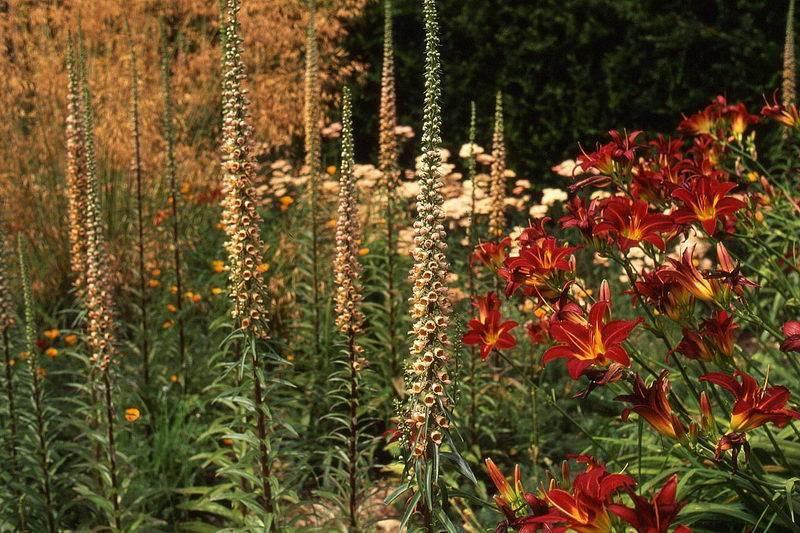 Наперстянка многолетняя: выращивание из семян, посадка и уход в саду