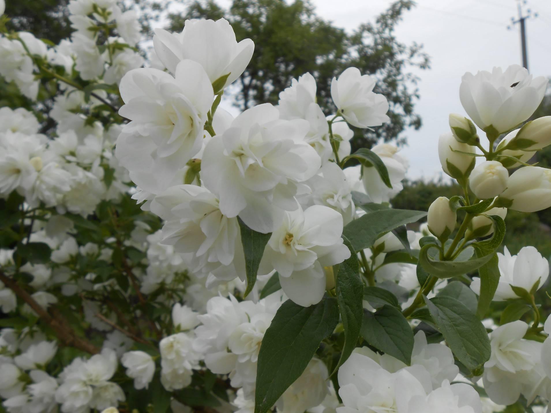 Как размножить жасмин садовый весной и летом