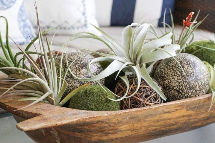 Тилландсия: уход в домашних условиях, фото и особенности видов, в том числе атмосферной, синей (цианея), аниты