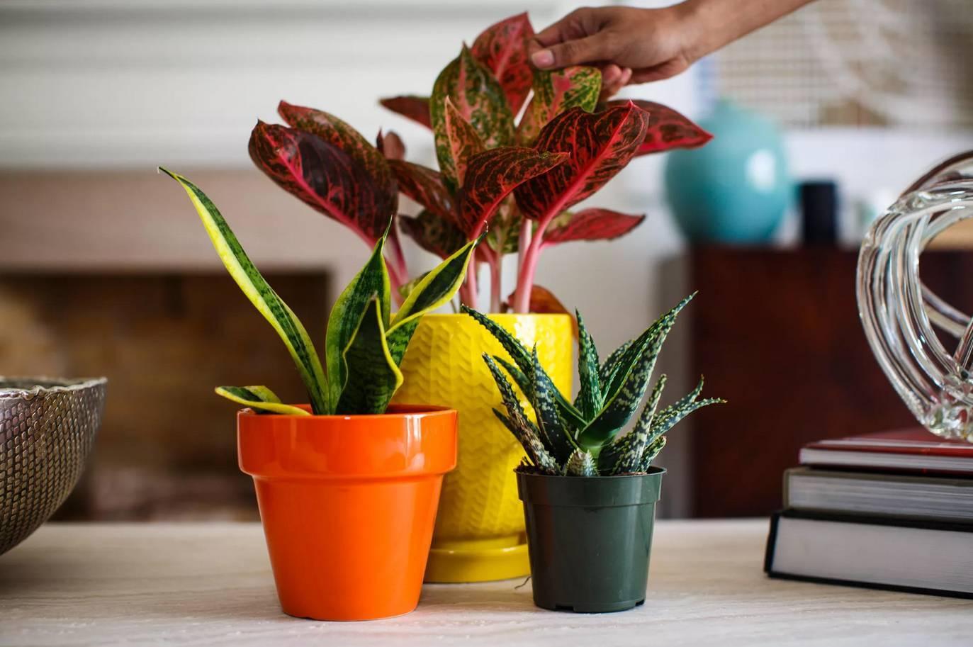 Чайное дерево: уход в домашних условиях и способы размножения