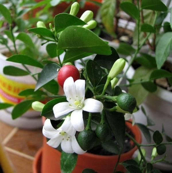 Муррайя (мурайя) : уход в домашних условиях, полезные свойства, цветы, фото