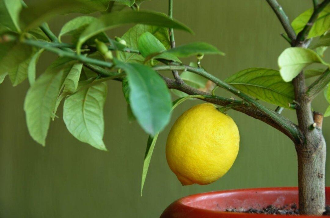 Условия для появления цветков у лимона. нюансы ухода и проблемы естественного процесса