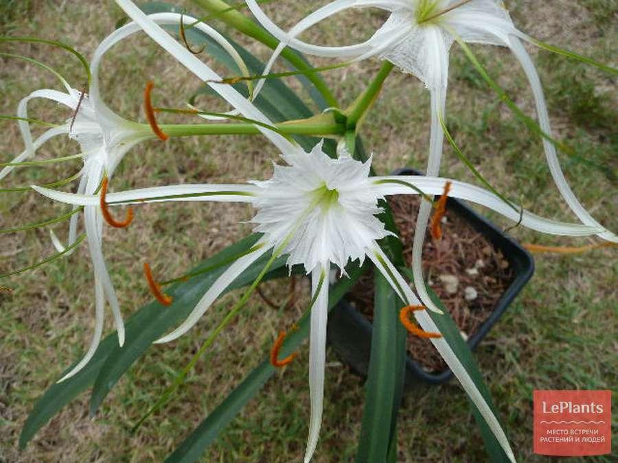 Гименокаллис (лилия-паук): уход и содержание в домашних условиях