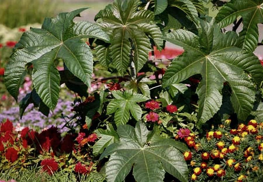 Клещевина обыкновенная — ядовитое растение