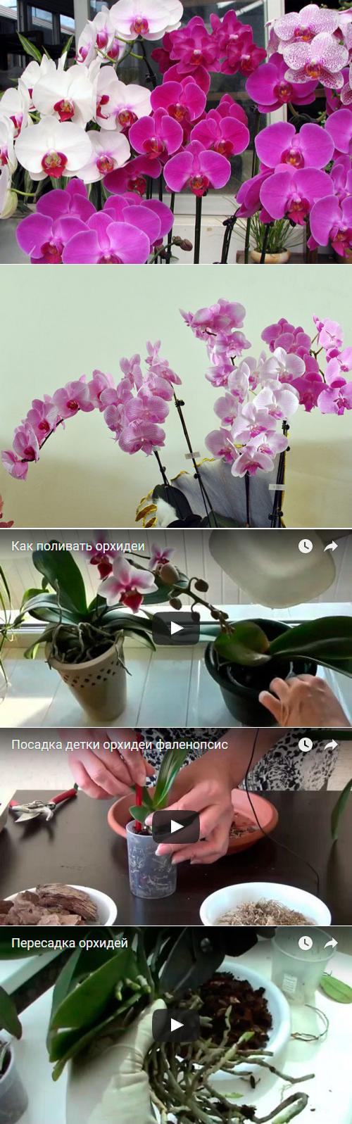 Размножение орхидеи в домашних условиях: пошаговые инструкции