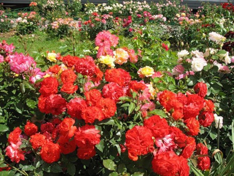 Роза флорибунда помпонелла – для райского уголка