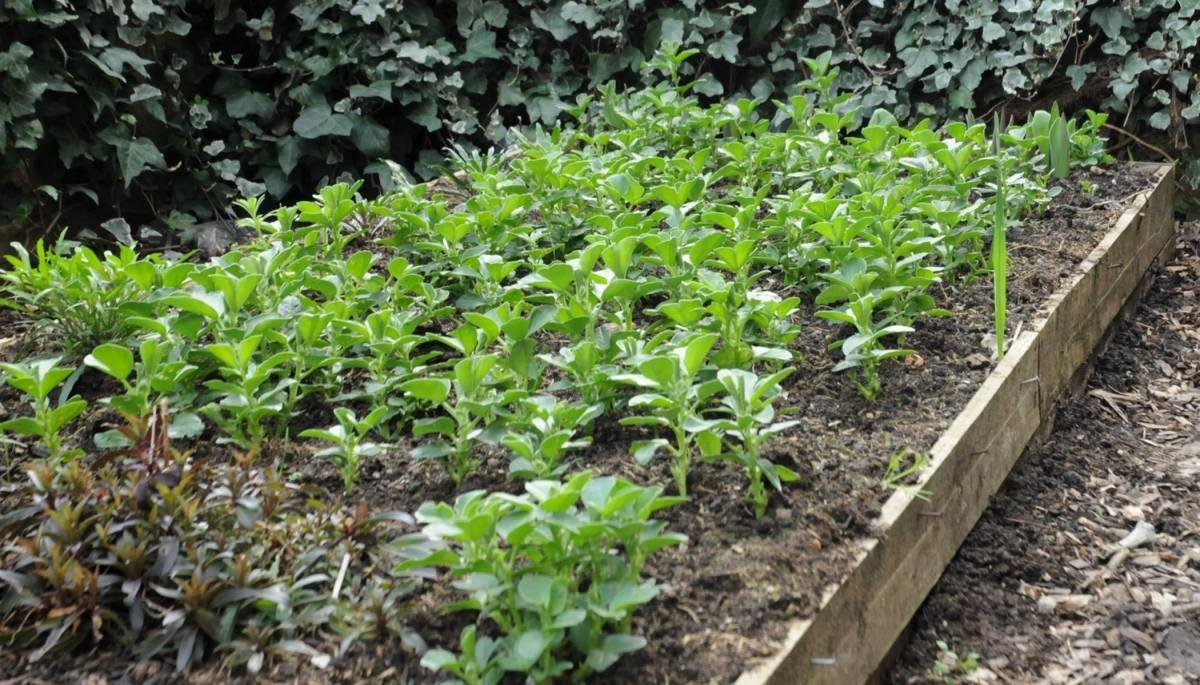 Люпины — выращивание из семян, когда сажать, как ухаживать