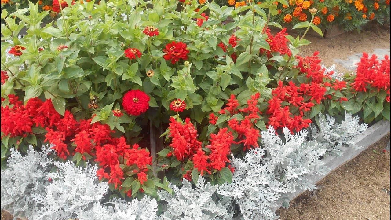 Сальвия: виды и сорта, выращивание из семян - энциклопедия цветов