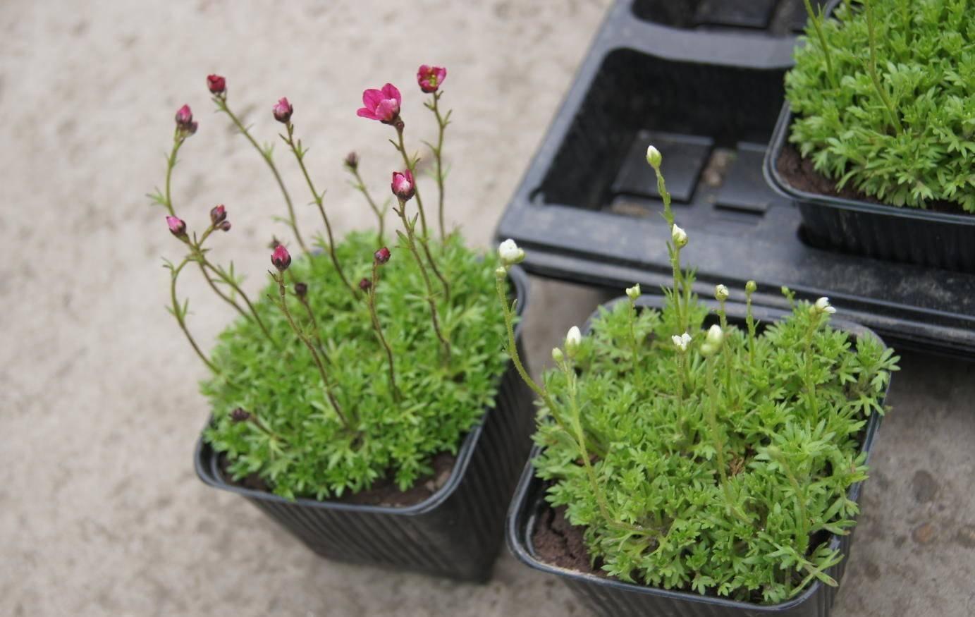 Камнеломка — выращивание, правила высадки, размножение и болезни + 83 фото
