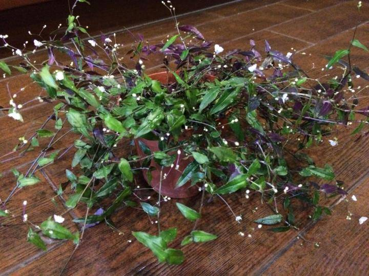 Цветок традесканция фото, виды и описание комнатного растения