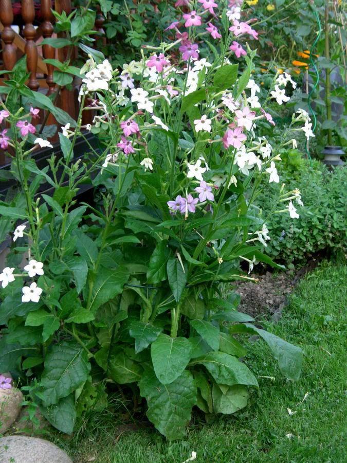 Уход за душистым табаком: как выглядит это растение, как цветет, как посадить