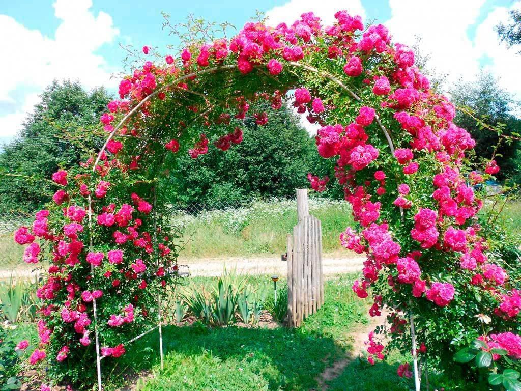 Не цветут плетистые розы на даче: почему, причины, что делать, как заставить цвести