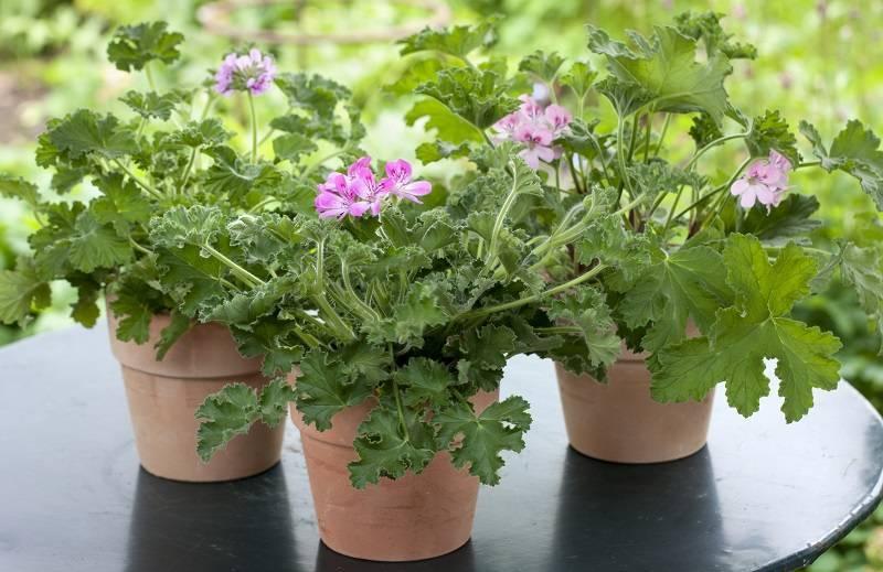 Выращивание в домашних условиях пеларгонии душистой
