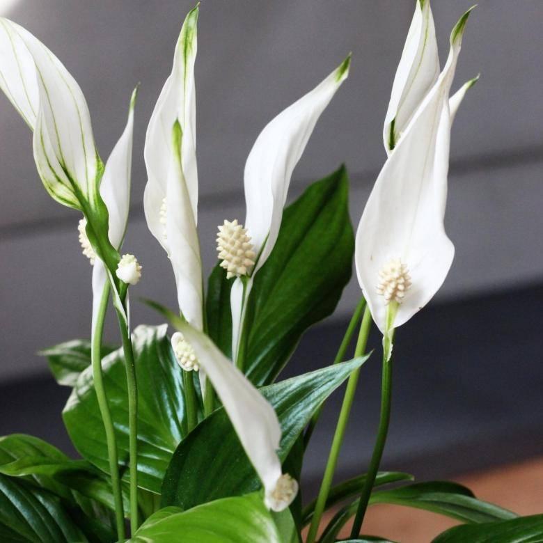 Цветок женское счастье (спатифиллум): описание, виды и сорта